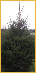 Pica abies kerstboom